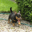 Lancashire Heelers, Stan on the move 12weeks