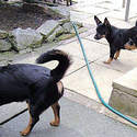 Lancashire Heelers, Buscuits Cate & Stan