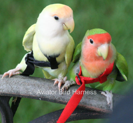 buy an Aviator Bird Harness for your tiny parrot