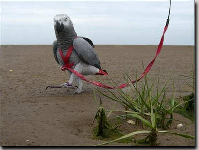BIRD HARNESS (LARGE)
