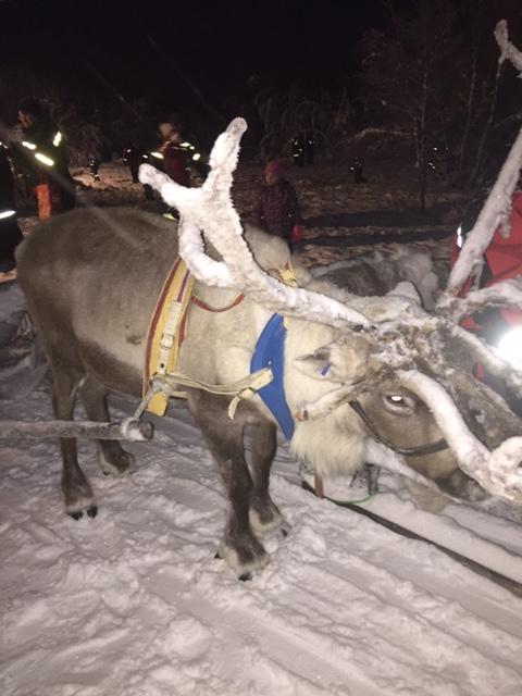 Lapland Reindeer