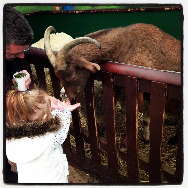 Hatton - Feeding the goats