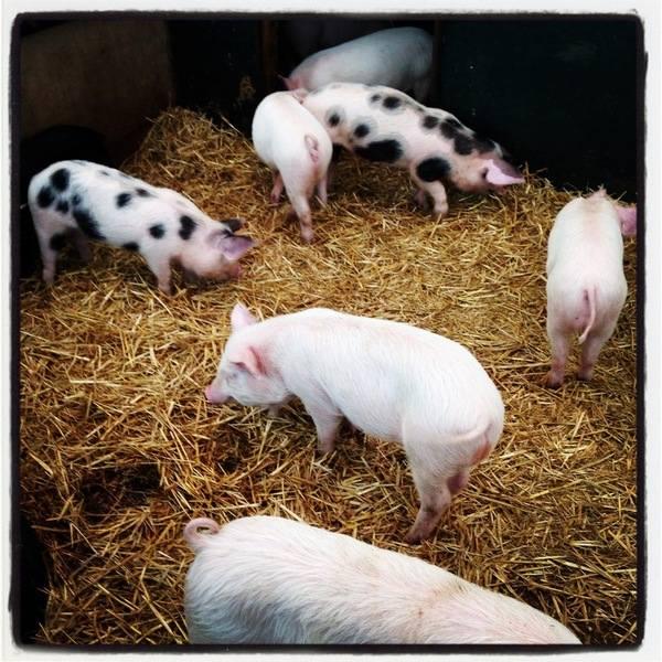 Hatton - piglets