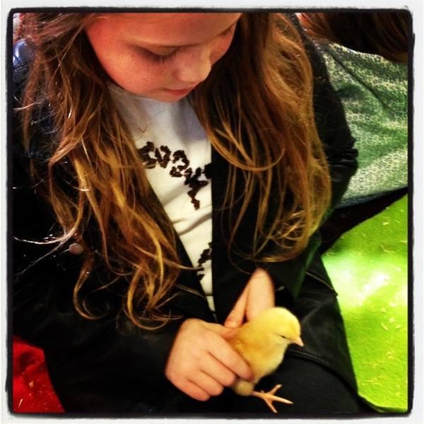 Hatton - baby chicks