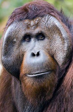 Help the Orangutan Foundation help orangutans