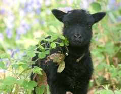 The Hebridean Sheep Society