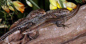 Become a Friend of the Amphibian and Reptile Conservation Trust