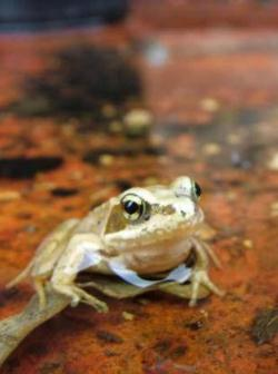 Fight for Frogs - a £10 gift for nature lovers from Froglife