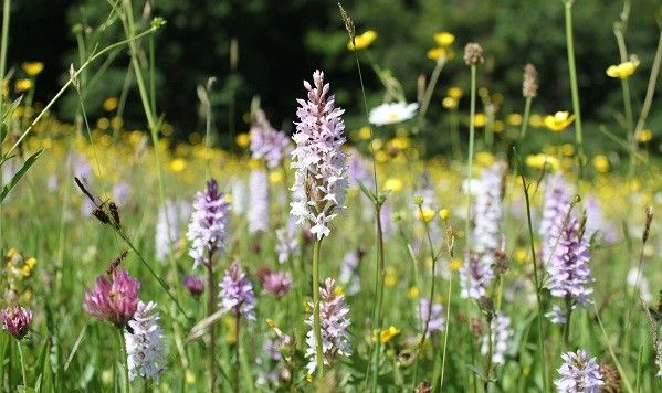 Give a membership to Plantlife and help wildflowers