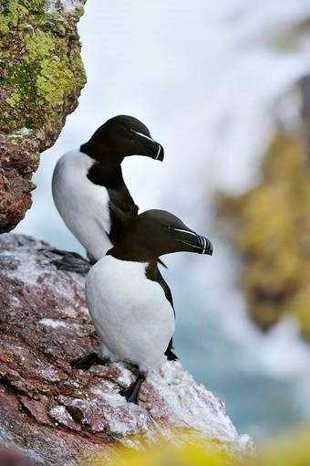 Razorbills resting on a cliff edge