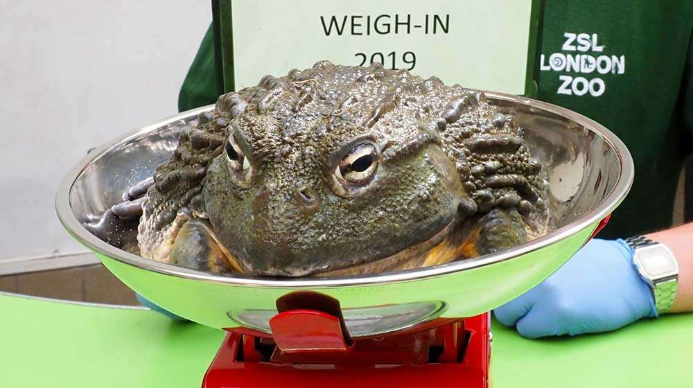 African Bullfrog Jabba gets weighed