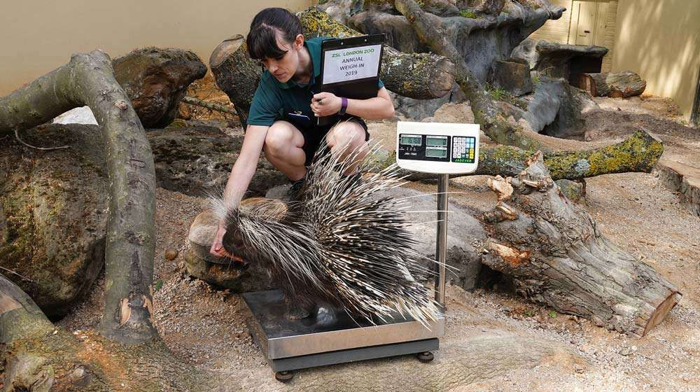 Polly the Porcupine gets on the scales