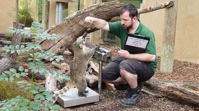 """My go!""  Ring-tailed coati Brush gets onto the scales"