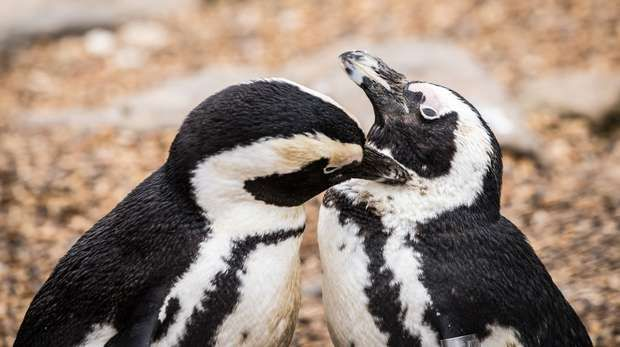There are African penguins at ZSL Whipsnade Zoo