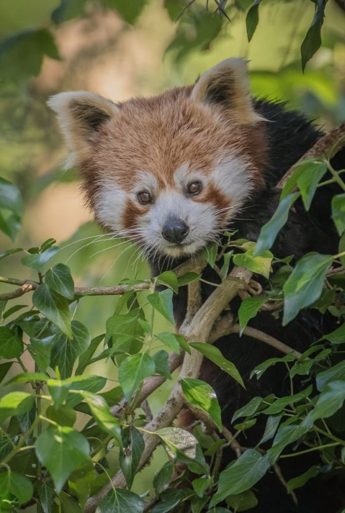 Give a membership to Chester Zoo