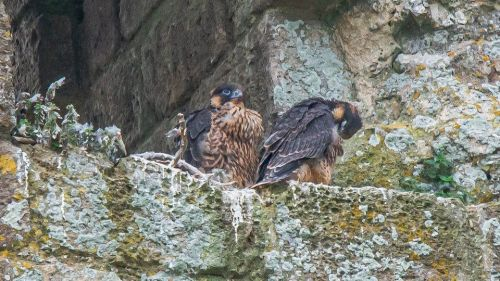 Peregrine falcons at Corfe Castle have thrived during lockdown!