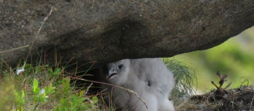 The hope is to increase the number of breeding pairs of peregrine falcons