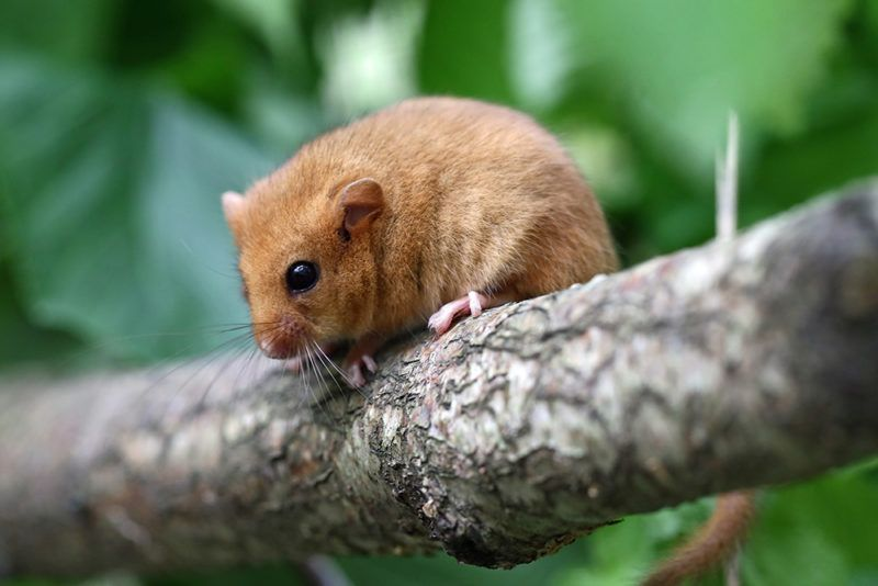 You could also Adopt an Animal, such as this dormouse, to help the Trust in its work