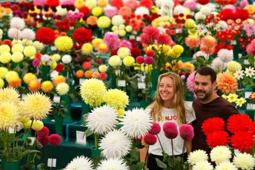 What colour!   There are over 100 dahlia competition classes!