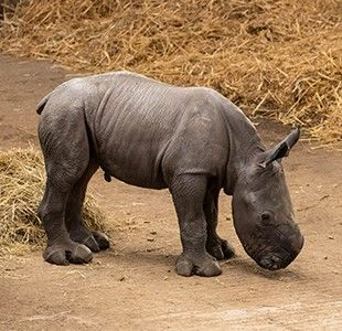 Introducing Nandi, a baby Southern white rhino.  There are only 10,000 left in the wild so she is very rare.