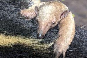A baby tamandua was born too!