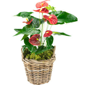 Anthurriunm Plant