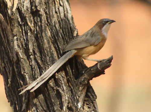 White-throated-Babbler - Burma