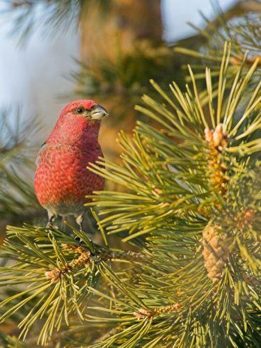 Pine Grosbeak by Jari Peltomaki