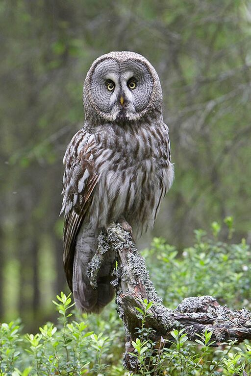 Great Grey Owl - Oulu 2 by Jari Peltomaki
