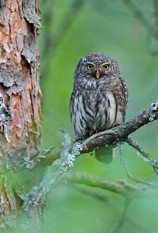 Eurasian Pygmy Owl by Jari Peltomaki