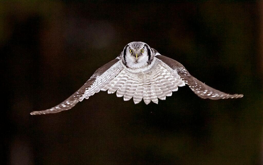 Eurasian Hawk Owl - Finland by Jari Peltomaki