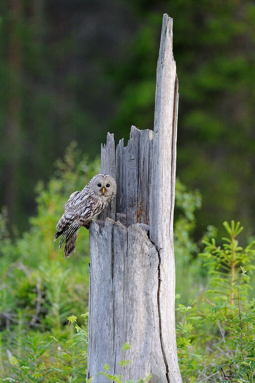 Ural Owl by Jari Peltomaki