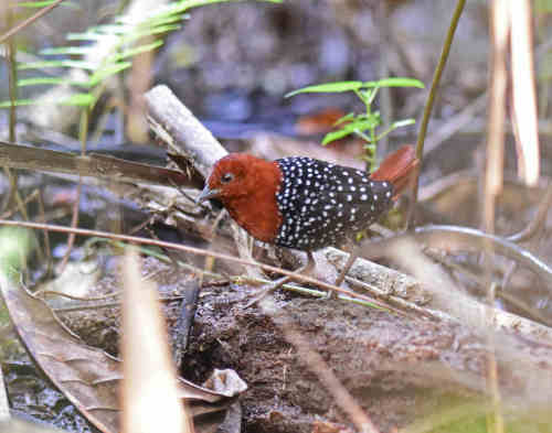 White-spotted Flufftail - Nick Bray