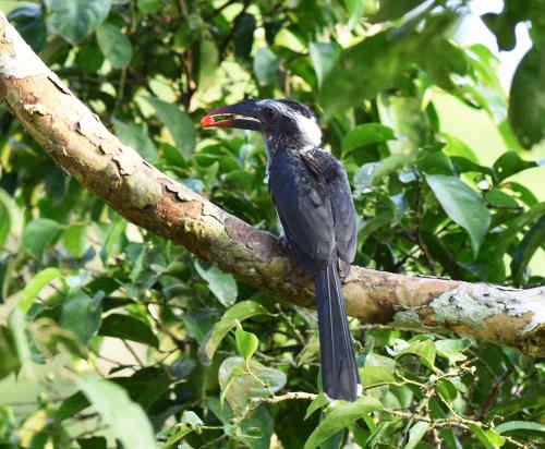 Black Dwarf Hornbill - Nick Bray