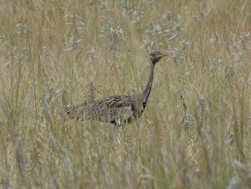 Black-bellied Bustard - Nick Bray