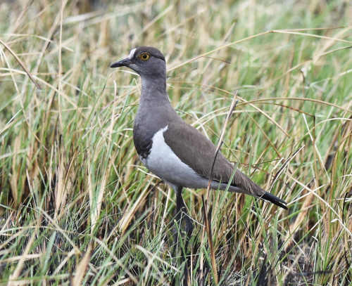 Lesser Black-winged Lapwing - Nick Bray