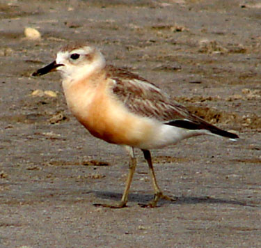 New-Zealand-Dotterel