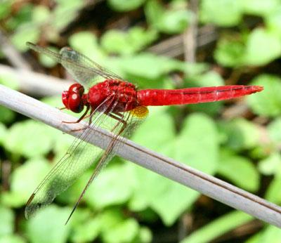 Oriental-Scarlet