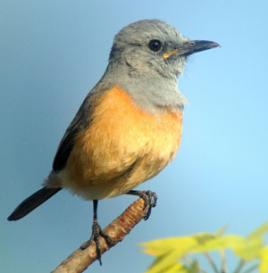Littoral-Rock-Thrush-by-Diego Calderon
