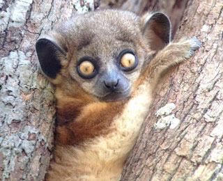 Hibbard's Sportive Lemur