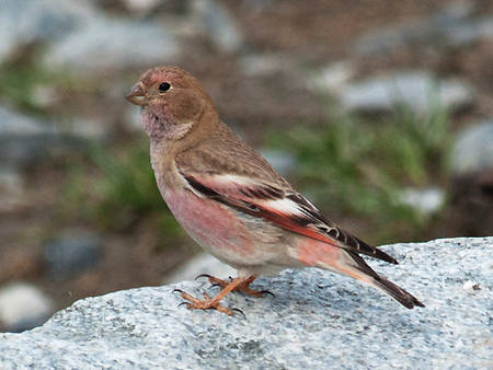 Asian Rosy-Finch