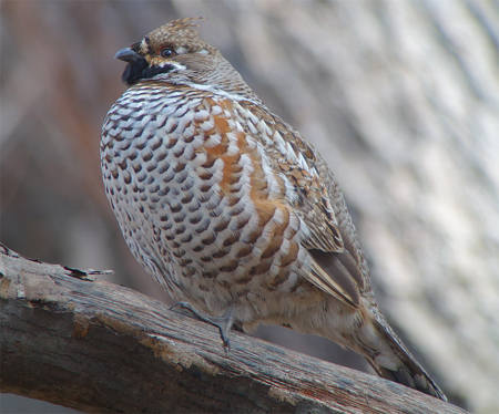 Hazel Grouse - Korea