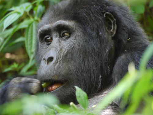 Gorilla-by-Tracey-Lambert