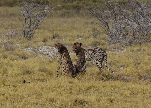 Cheetahs - Etosha 2015