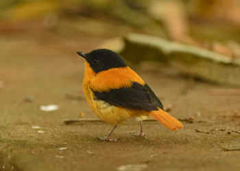 Black-and-orange Flycatcher - S India 2016