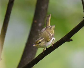 Emei Leaf Warbler - Sichuan 2015