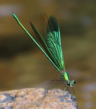 Oriental-Green-wing