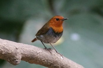 Japanese Robin by Richard Foster