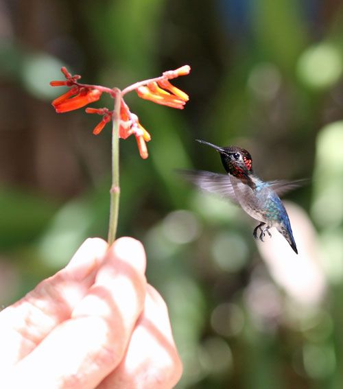 Bee-Hummingbird-feeding-fro