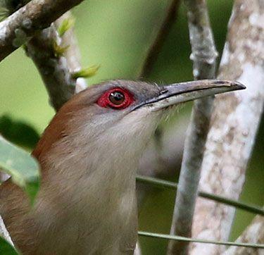 Great-Lizard-Cuckoo-head